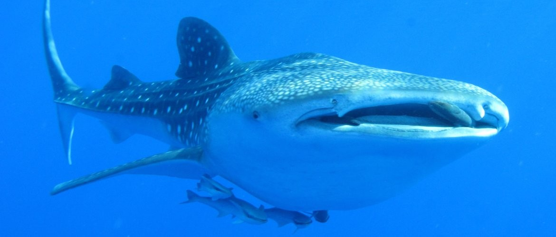 Whale Shark, Red Sea
