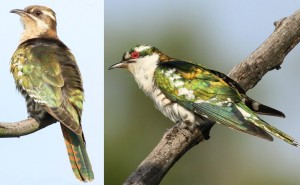 Female (left) and male (right) Diederik cuckoo