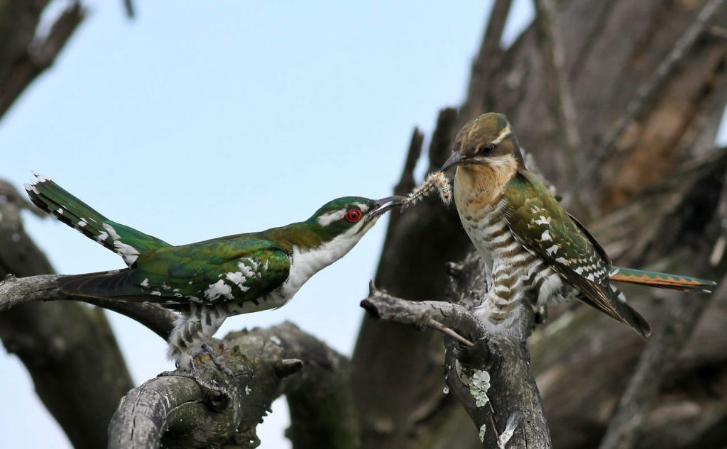 The passing of a caterpillar from male to female Diederik cuckoo
