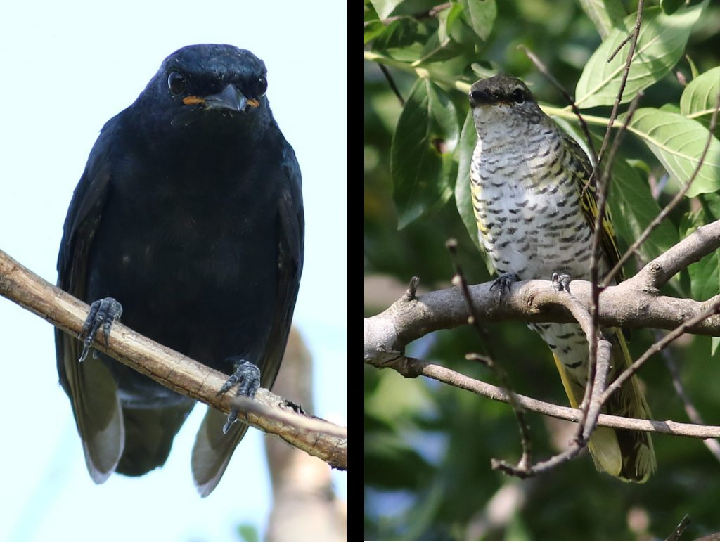 Black cuckoo-shrike male and female