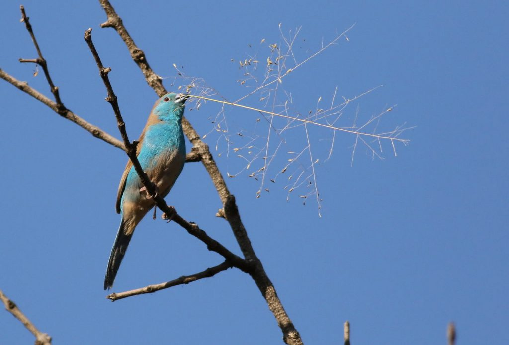 Bluewaxbill bringing nesting material