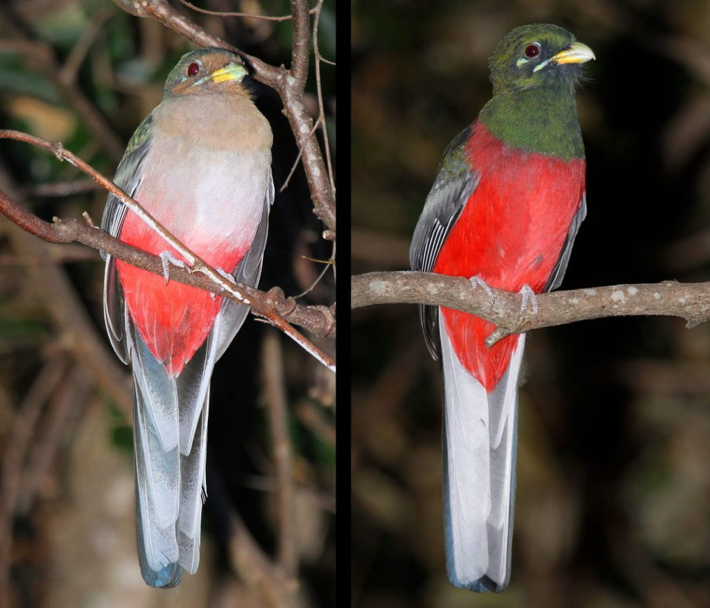 Female and male narina trogon
