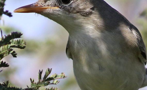 Olive-tree warbler